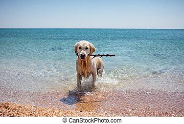 Retriever - dog on beach