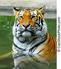 Siberian Tiger in the water