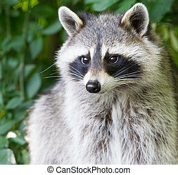 Adult raccoon portrait - A portrait of an adult raccoon