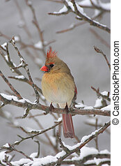 Cardinal In Snow - Female Northern Cardinal (cardinalis...