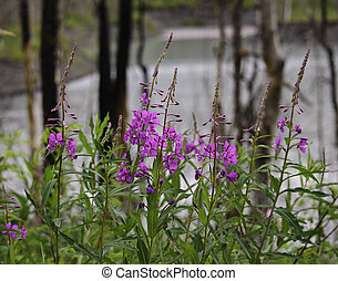 Purple fireweed blooming in Alaska