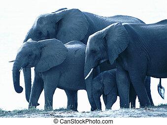 Elephants standing in water - Africa, Botswana, elephants...