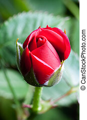 Red Rosebud - Macro shot of a small red rosebud on a...