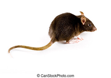 Brown Rat - a close-up photo of a common or brown rat