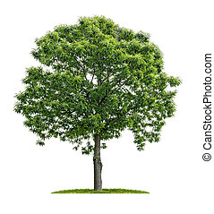 isolated chestnut tree on a white background