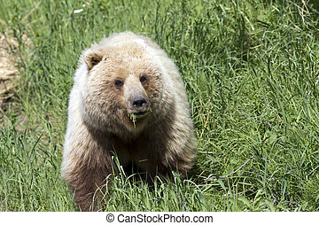 grizzly bear in the wild eating grass