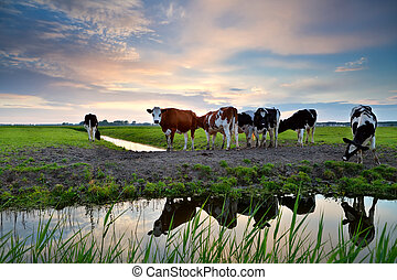 cows by river at sunset - cows on pastoral by river at...