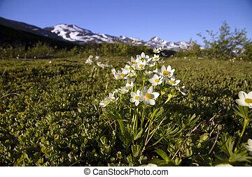 white flowers in alaska