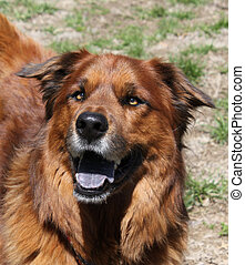 Happy dog face - Large brown dog with smiling face
