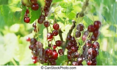 Water raining on red currant bush