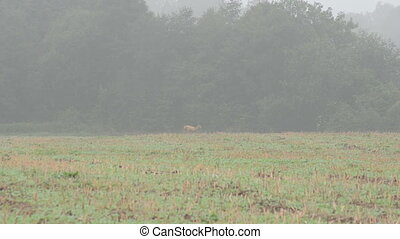wild roe fog forest - follow wild roe hind runing through...