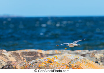 Seagull flying over the shoreline - Seagull flying over the...
