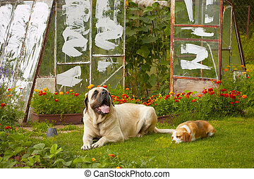 Mastiff with beagle - friends - mastiff with beagle in the...