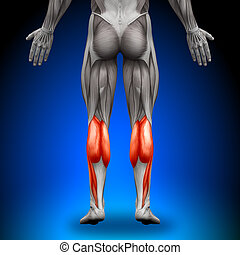 Calves - Anatomy Muscles