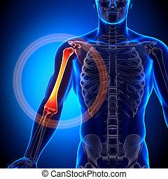 Humerus - Anatomy Bones