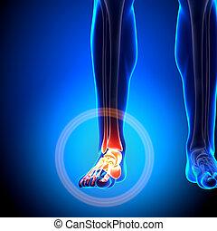 Ankle - Anatomy Bones