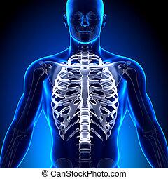 Rib Cage Sternum - Anatomy Bones