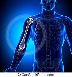 humerus, /, braço, anatomia, -, anatomia, bon
