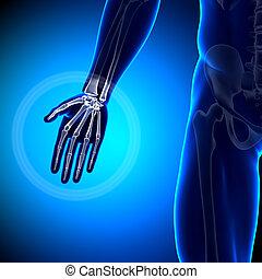 anatomia, ossos,  -,  plam
