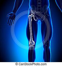 femur, -, anatomia, ossos