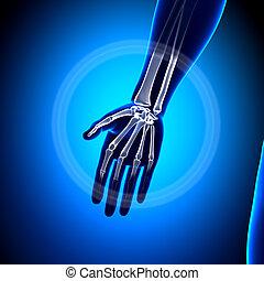 anatomia, ossos,  -, mão