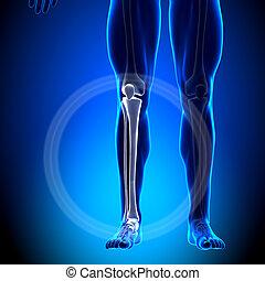Tibia / Fibula - Calf Anatomy - Ana