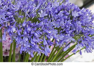 Florista,  Agapanthus, flor, tallo, exhibición