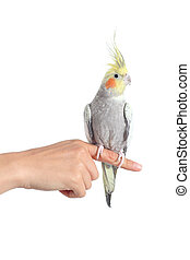 Woman hand holding a cockatiel parrot with forefinger...