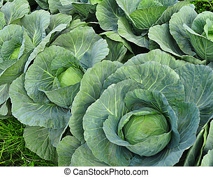 Green cabbage in the garden - Stock Photo - close-up of...