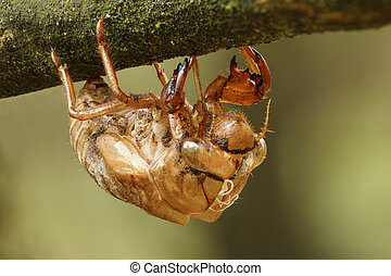 Cicada Exoskeleton Clinging to a Tree Branch - Grand Bend,...
