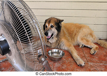 Heavy Heat Wave - TEL AVIV - AUG 19: Dog cools down with fan...