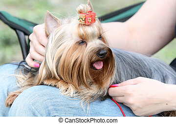 yorkshire terrier with a bow in a lap at the mistress