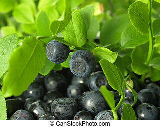 Blueberries from the bush - Blueberries taken from the bush,...