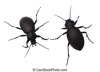 Two of garden ground beetle. - Two of garden ground beetle...