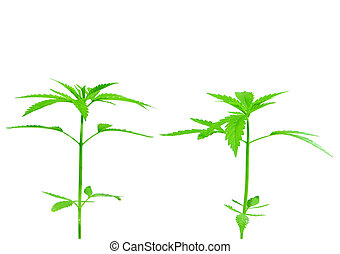 Two young new growing cannibas marijuana plants isolated on...