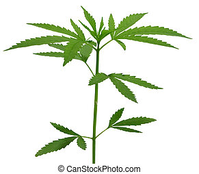 A young new growing cannibas marijuana plant isolated on...