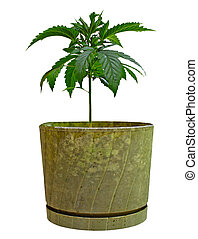 Two young new growing cannibas marijuana plants in an old...