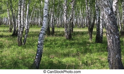 Birch grove in the spring.
