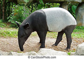 Malayo, tapir, (tapirus, indicus), Tailandia