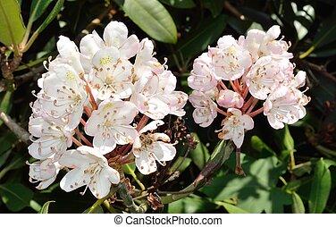 Rhododendron flower in a garden.