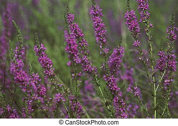 Purple Loosestrife Illustration - Colorful spring portrait...