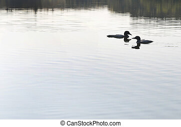 Couple of Loons in Love - Two Loons very close on a lake
