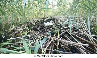 great-crested grebe Podiceps cristatus - floating nest with...