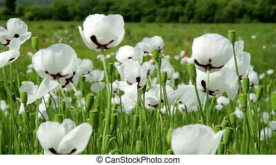 White Poppy flowers closeup