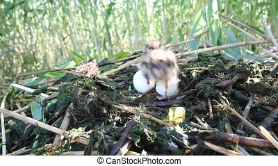 great-crested grebe (Podiceps cristatus) - small baby birds...