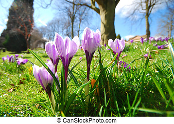 Crocus flowers - Closeup of crocus flowers growing in grass...