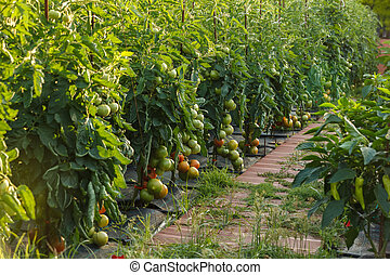 Tomatoes ripening in a garden outdoor