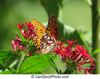 butterfly on red flowers - Orange and white butterfly on red...