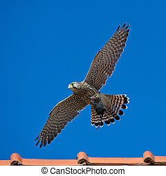 Kestrels, the juvenile, capture - The juvenile kestrel Falco...