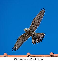 Kestrel's, the juvenile, capture - The juvenile kestrel...